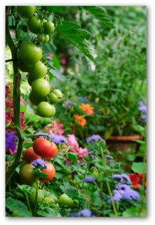 tomatoes ripening in the vegetable garden
