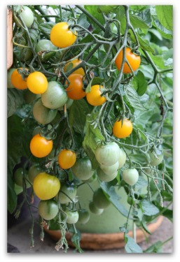 healthy yellow cherry tomato plant growing in container