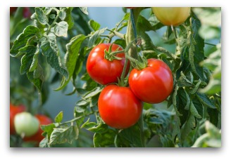 tomato fertilizer tips for success