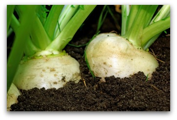 growing white turnips