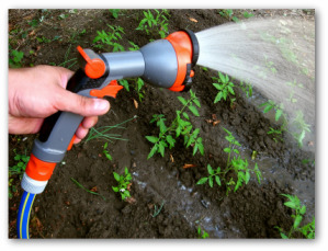 gardener watering a vegetable garden outside