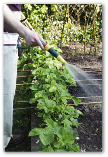 gardener watering a raised bed vegetable garden