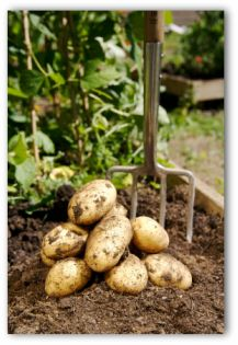 Digging potatoes in the garden