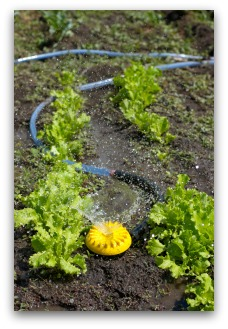 watering lettuce in the garden