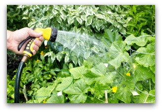 hand-watering a vegetable garden