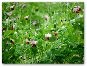 pea plants flowering in the garden
