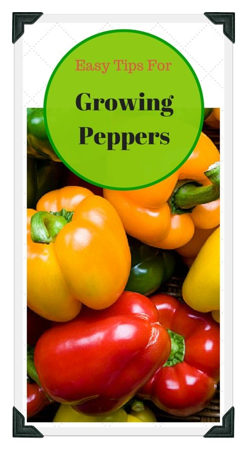 how to grow peppers at home
