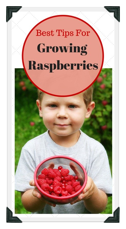 growing red raspberries in your garden