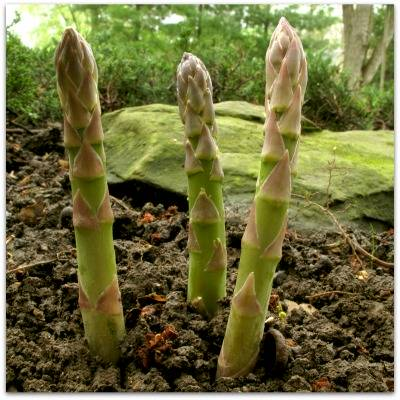 How To Plant A Backyard Garden how to plant asparagus in your backyard garden
