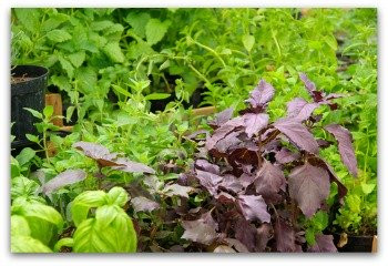 many varieties of basil that will grow in your garden