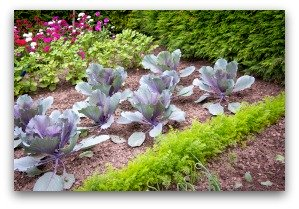 alternating colors in vegetable garden creates beauty