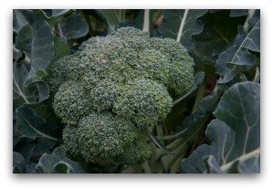 Ripe Head of Broccoli Ready to Pick