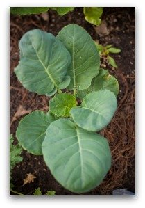Broccoli Seedling in Square Foot Garden