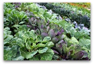 cabbage varieties growing in garden