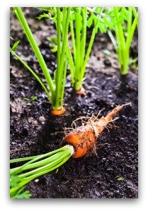 Thin Carrot Seedlings so That They Have Room to Grow Properly