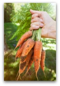 Freshly Dug Carrots from the Garden