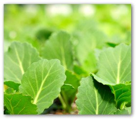collard greens are an early crop