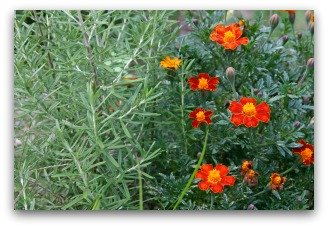 Companion Planting Sage and Marigold Help Repel Garden Insects