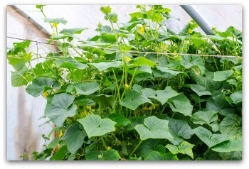 planting cucumbers using wire trellis for vertical growing