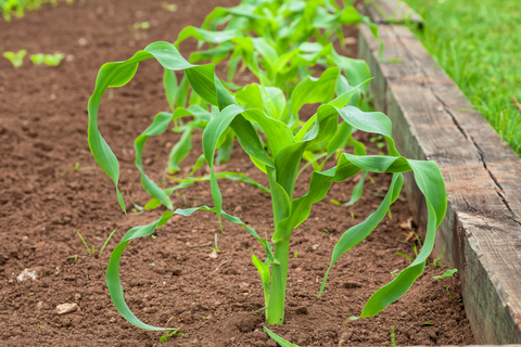 tips on how to plant corn