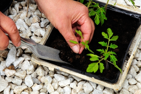 tomato seedlings being re-potted into larger containers