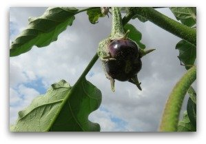 small eggplant forming on vine in the garden