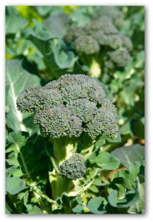 broccoli growing in your yard