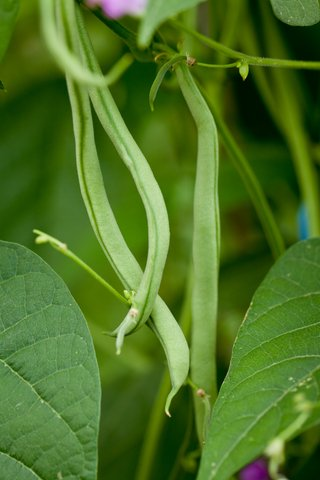 pole beans growing in the vegetable garden