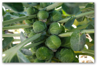 stalks of brussel sprouts growing