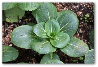 chinese cabbage growing in the ground