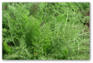 fresh fennel growing outside