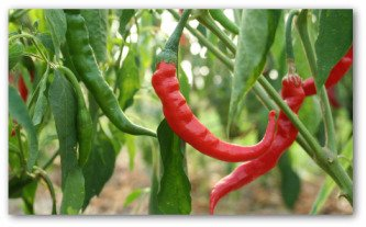 fresh hot peppers growing on the vine