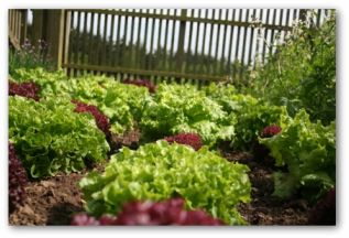 different varieties of leaf lettuce growing in a garden