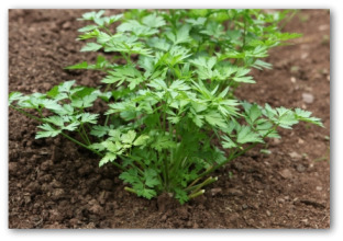 fresh parsley growing in the ground