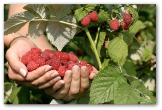 red raspberries growing on the plant