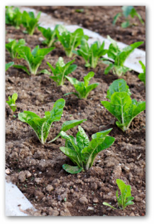fresh spinach plants growing in the garden