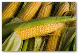 freshly picked ears of corn from the garden