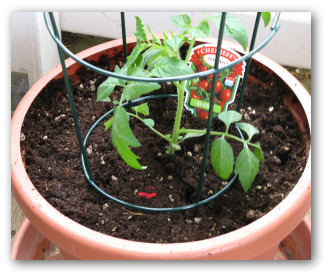 tomato plant growing in a pot