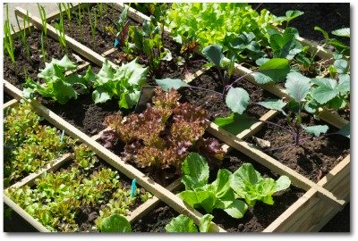 square foot gardens are a fun project for kids