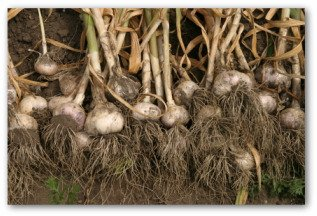 garlic freshly picked from the garden