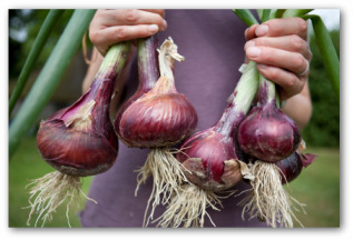 large onions freshly picked from the garden