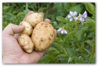 fresh potatoes and flowering potato plant