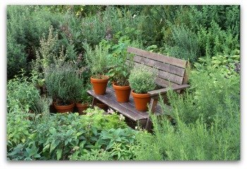 growing rosemary in beautiful potted herb garden