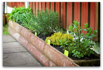 growing rosemary in a raised bed herb garden