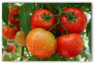 ornamental gardens include all types of tomatoes