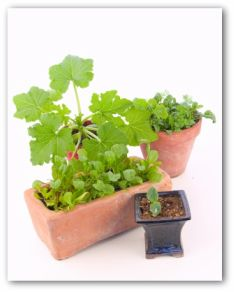 vegetable plants growing in pots