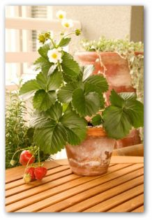 strawberry plant in a pot indoors