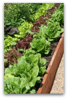 raised garden with lettuce varieties
