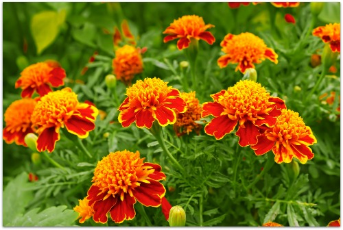 marigolds add beauty and help repel insects in the vegetable garden