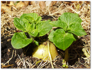 potato plant growing with mulch around it